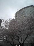 曇り空に桜