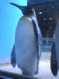 立ち寝ペンギン